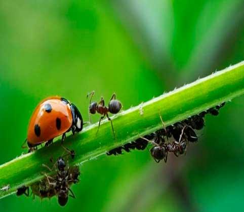 vinagre BLANCO,-hormigas-e-insectos-de-jardin