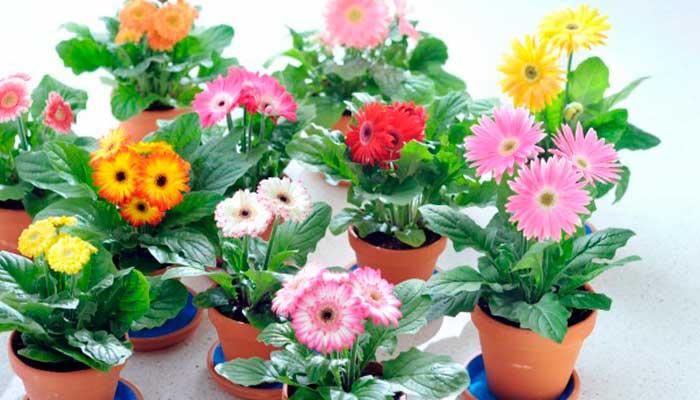 sol, plantas, vacaciones, tips, macetas-con-diferentes-flores-de-gerberas