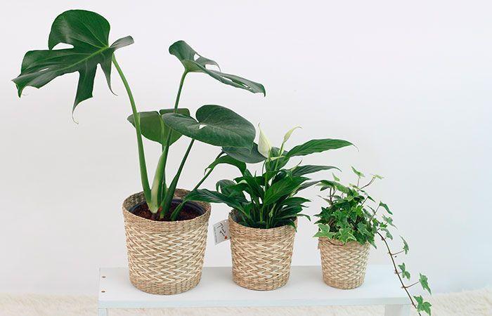 regalos-dia-de-la-madre,-plantas-Costillas-de-Adán,-Spathiphyllum,-Dracaena,-plantas-con-macetas