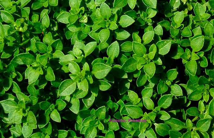 trampas-para-insectos,-hierbas-aromáticas,-albahaca